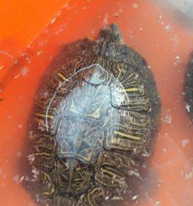 Черепахи красноушки