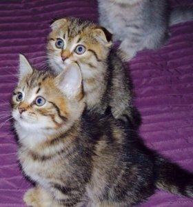 Шотландский котята ищут любящих родителей