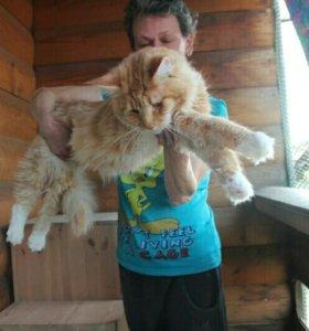 Красный мраморный кот