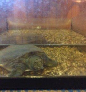 Черепаха (трионикс) 6 лет с аквариумом