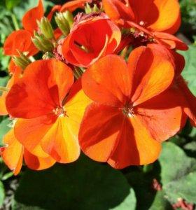 Герань крупноцветковая сортовая