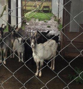 Козы, козлята, кролики