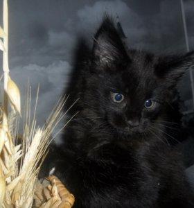 Продам котёнка Мейн- кун.
