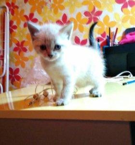 Невский котёнок