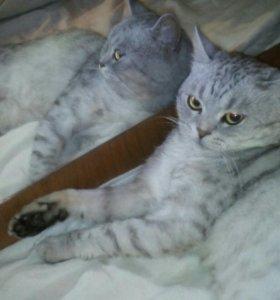 Кот британский.вязка.