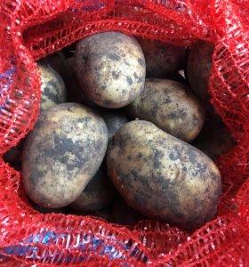 Картофель сухой, чистый, закладка на хранение