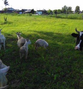 Продам молодых дойных коз и козлят