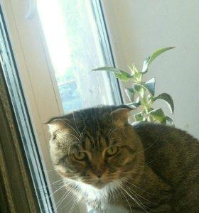 На вязку шотландский вислоухий кот