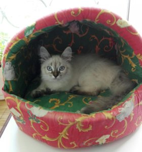Невская маскарадная Кошка 8 месяцев