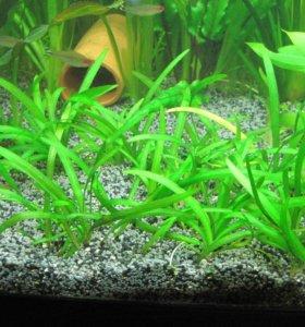 Сигитария - почвопокровное растение