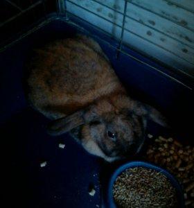 Продается декоративный кролик