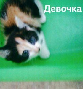 Котнок сибирской породы