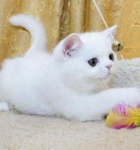 Котёнок экзотической короткошерстной породы.