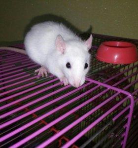 Крысёнок