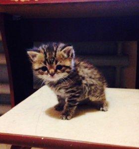 Продаються шотландские вислоухий и прямоухий котят