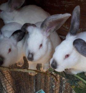 Калиф.кролики самки самцы 4,5месяца