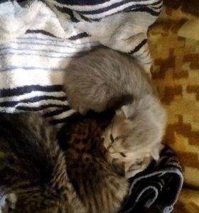 Котятки шотланской породы