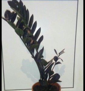 Чёрный замиокулькас равен
