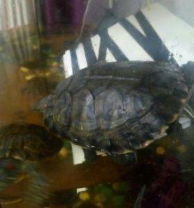 Черепахи красноухие.
