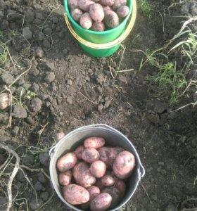 Картофель деревенский, доставка от производителя
