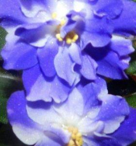 Фиалка сорт Синяя Вспышка (Морев)