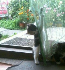 Котята 1,5месяца девчата