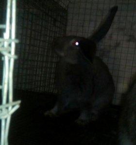 Кролики фландэры