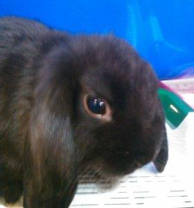 Вислоухие Крольчата не