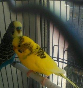 СРОЧНО!!Попугаи