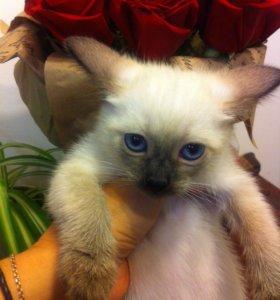Тайские котята девочки