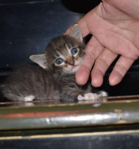 Котята ( 2 месяца )