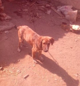 Охотничий пёс