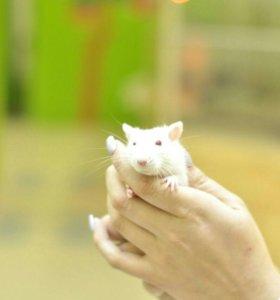Ручные крысята