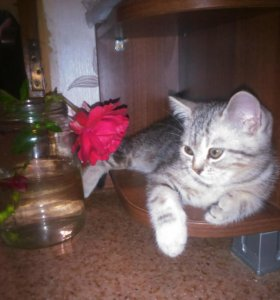Британский мраморный котенок
