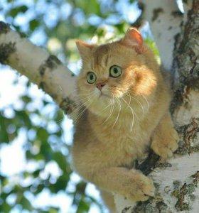 Bяzka британец золотая шиншилла кот