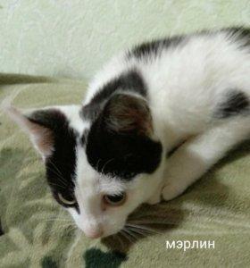 Котенок мэрлин