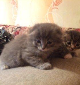 Веслоухие котята