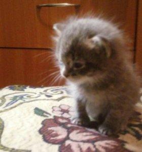Бесплатно  дымчатый котенок