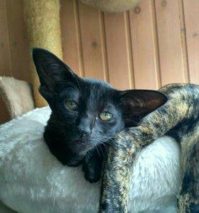 Ориентальные котята ( черная кошечка)