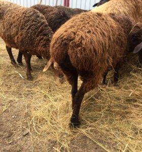 Продаются овцы и бараны