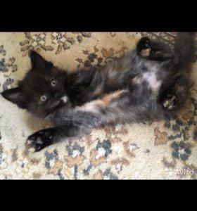 Кошечка от Мейнкуна