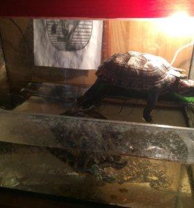 Красноухие черепахи)