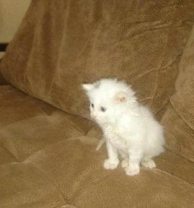 Котёнок белый, пол мужской