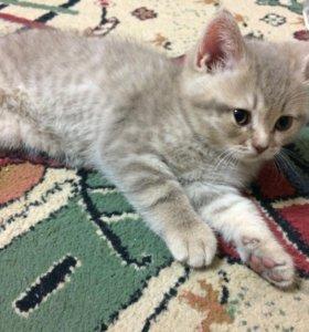 Чистокровный шотландский котёнок