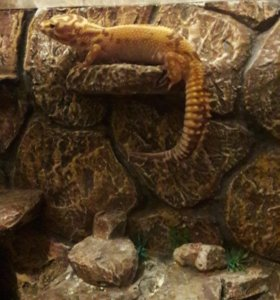 Эублефар, леопардовый геккон с террариумом