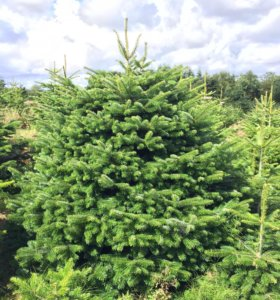 Датские Пихты живые новогодние елки нордмана