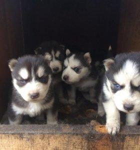 Продам щенков сибирской хаски голубоглазые