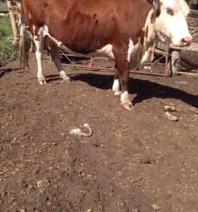 Корова гелифорд