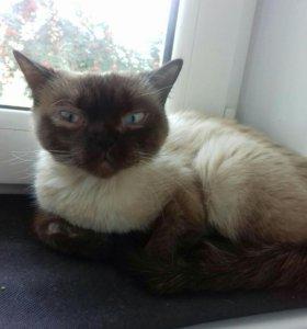 Молодая сиамскся кошка