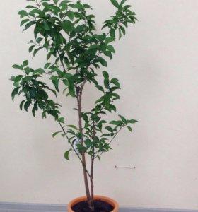 Апельсиновое дерево высота 1,4 метра